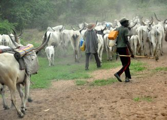 Taraba grazing Fulani herdsmen with their cattle cow