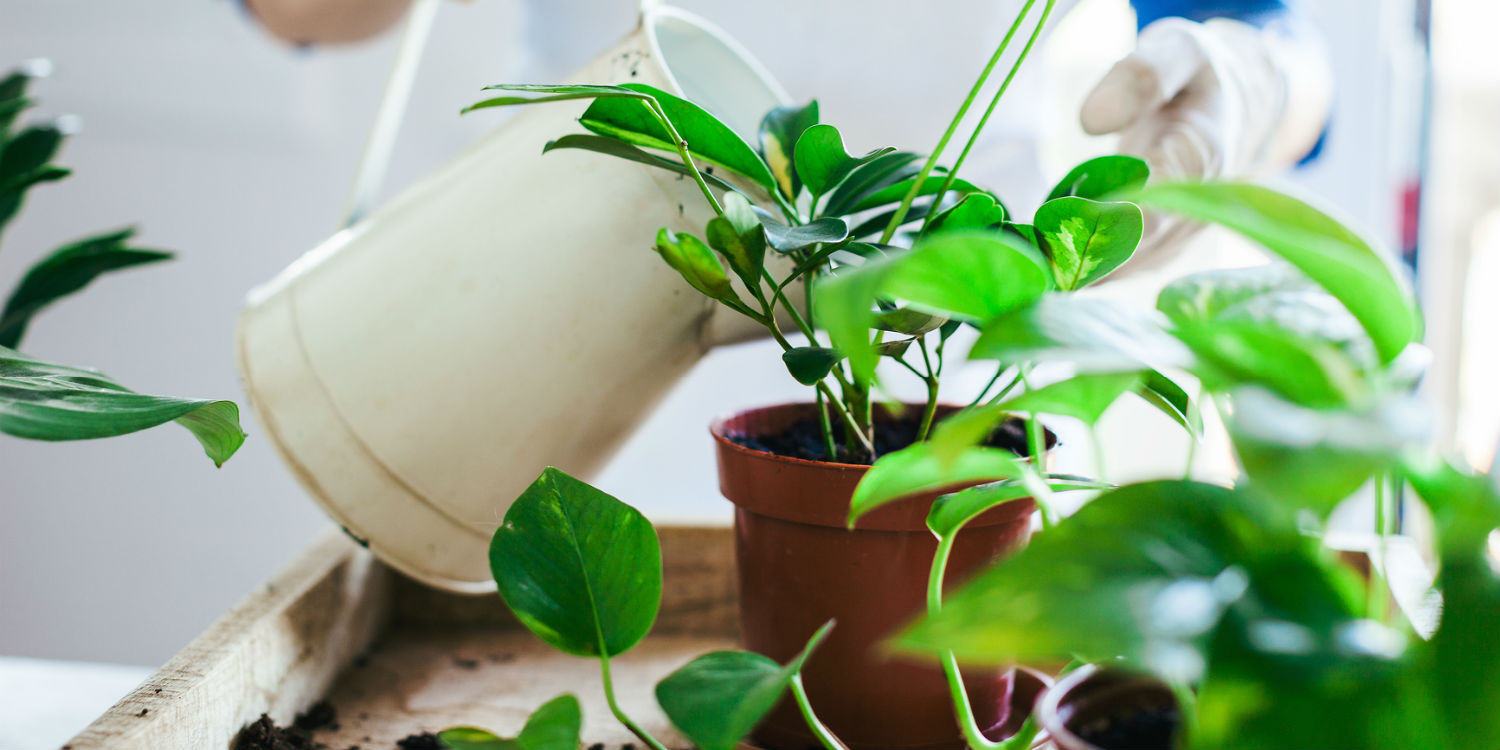How to Water Indoor Plants